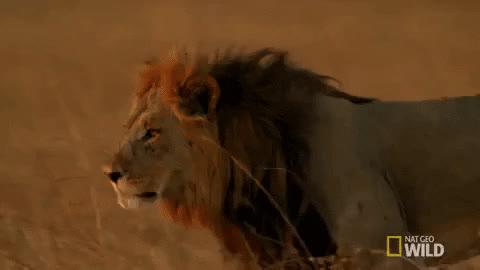 king, lion, king GIFs