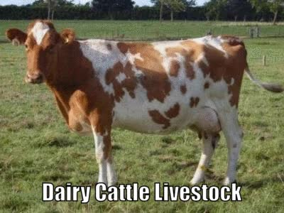 Watch and share Dairy Cattle Livestock GIFs by Australia's Livestock Exporter on Gfycat