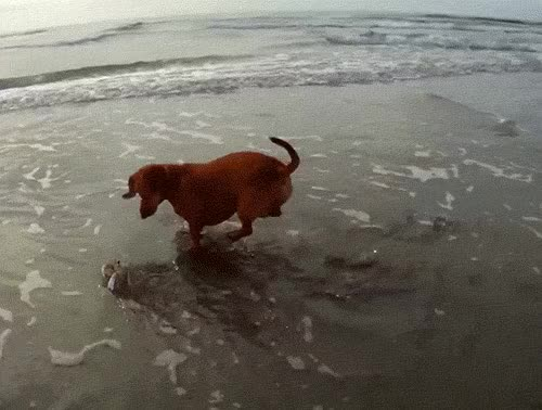 Watch and share Dachshund S GIFs on Gfycat