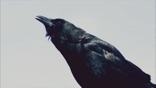 Watch crows GIF on Gfycat. Discover more related GIFs on Gfycat