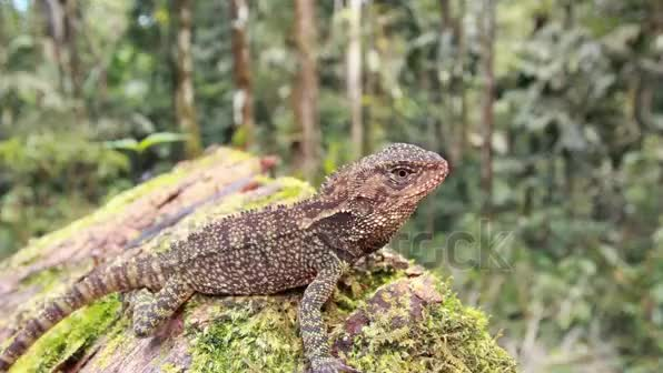 Watch and share Amazon Forest Dragon (Enyalioides Laticeps) On A Log In The Rainforest, Ecuador Stock Footage Video 2513486 - Shutterstock GIFs by likkaon on Gfycat