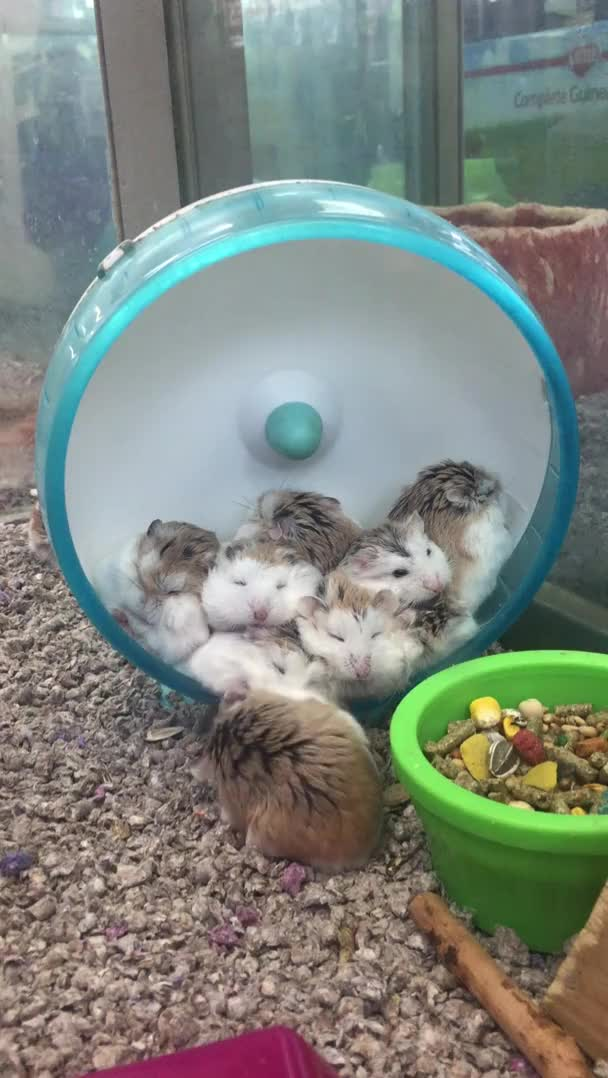Watch and share Saw This Puddle Of Hamsters Taking A Nap Today! GIFs on Gfycat