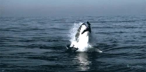 Watch and share African Marine Life GIFs and Great White Shark GIFs on Gfycat