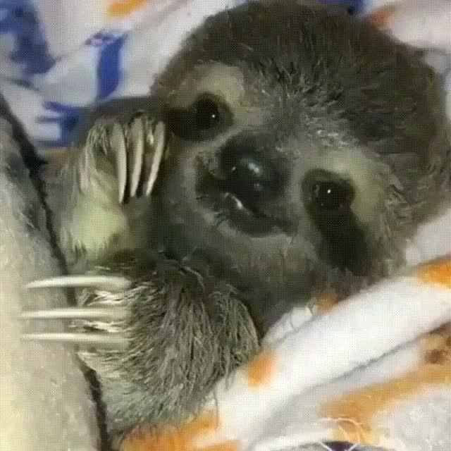 Watch and share A Tucked In Baby Sloth. - Imgur GIFs on Gfycat