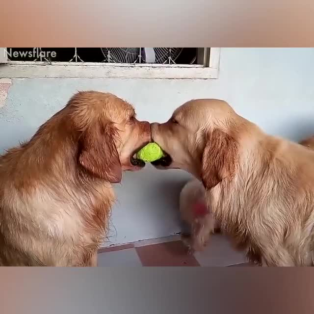 Watch and share Funniest Dogs Video GIFs and Golden Retriever GIFs by Аня Кранець on Gfycat