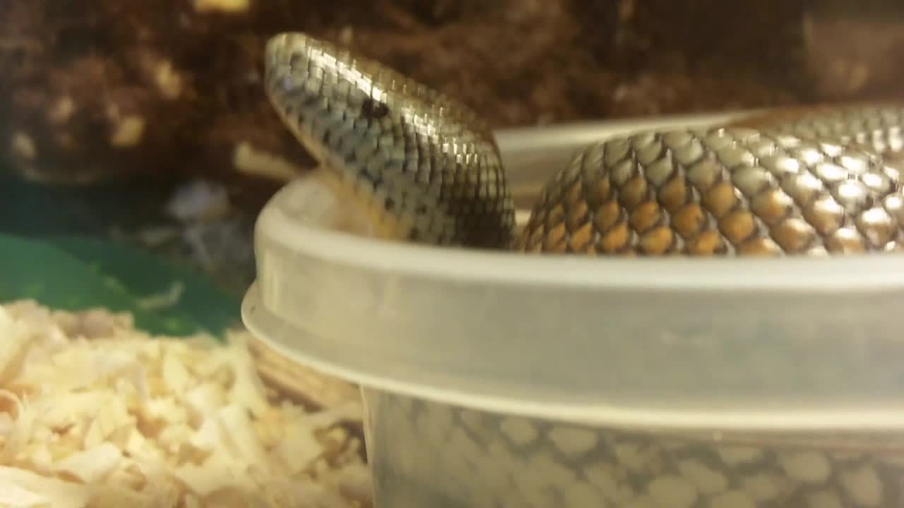 animaltextgifs, snakes, This sub needs more rosy boas (reddit) GIFs