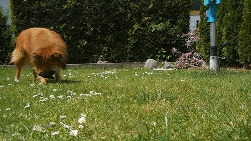 Kyle, Sheltie, Shetlandsheepdog, animal, boy, cute, dog, funny, garden, gif, gifs, pets, playing, puppy, sable, summer, tricks, Sheltiebros GIFs