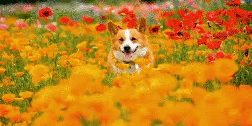 Watch and share Corgi In Flowers GIFs on Gfycat