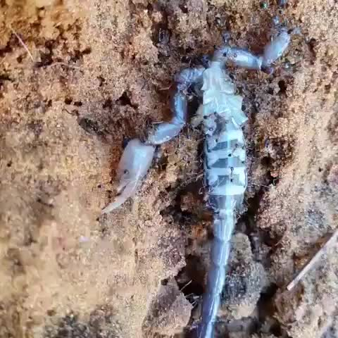 Ants working together to drag the exoskeleton of a scorpion back to their colony GIFs