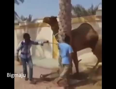 Hilfe, KILLERS, Unfall, bei, fressen, hepdo, kamel, paris, tendes, wut, Wütendes Kamel beißt Mensch in Kopf GIFs