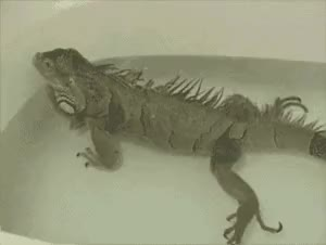 Watch and share A Farting Lizard GIFs on Gfycat