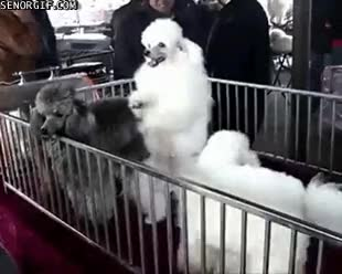 Watch and share Poodle GIFs on Gfycat