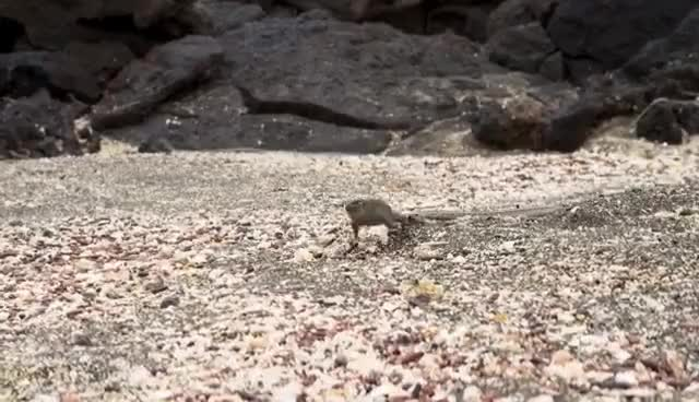 Watch and share Iguana Vs Snakes - Planet Earth II GIFs on Gfycat