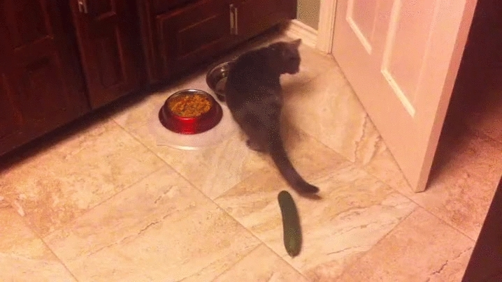 Stormy hates cucumbers too • r/StartledCats GIFs