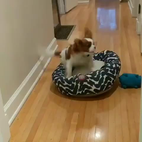 cavalier_daily.ak, dog, dogfail, dogvideo, dogvideos, faceplant, puppyvideo, hmk as i leap into my bed GIFs
