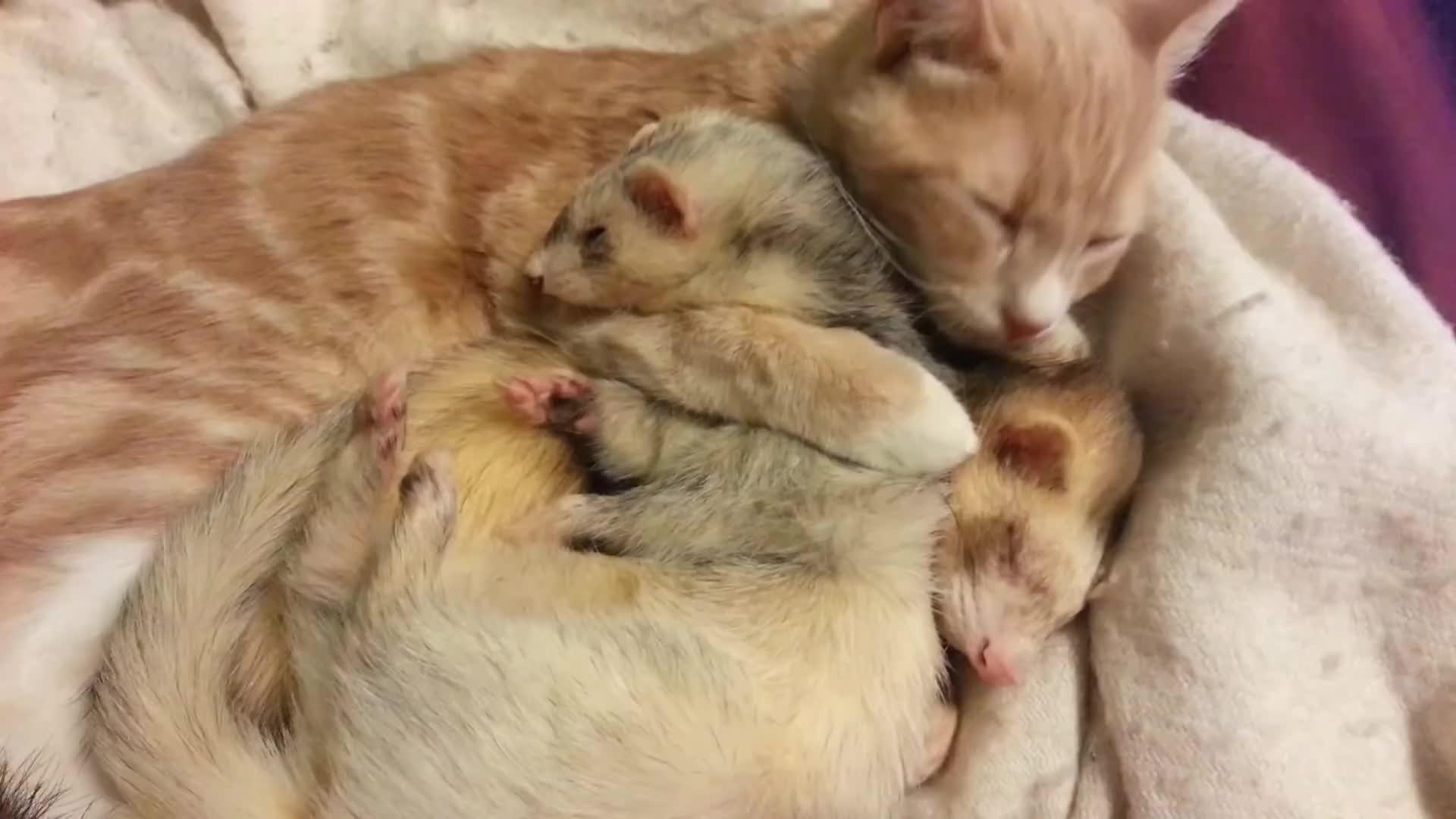 bath, cat, cuddle, cuddling, cute, ferret, ferrets, friends, funny, kitten, kitty, lick, Ned giving the ferrets a bath GIFs
