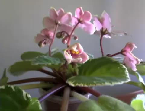 Watch and share African Violet GIFs on Gfycat