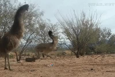 Watch next random   Comment     Top NextComment             Emus         next GIF on Gfycat. Discover more related GIFs on Gfycat