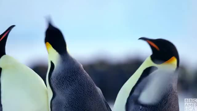Watch this animal GIF by BBC America (@bbcamerica) on Gfycat. Discover more angry, animal, animals, annoyed, bad, bbc america, bbc america dynasties, bbc america: dynasties, dynasties, emperor penguin, emperor penguins, no, penguin, penguins, stop GIFs on Gfycat