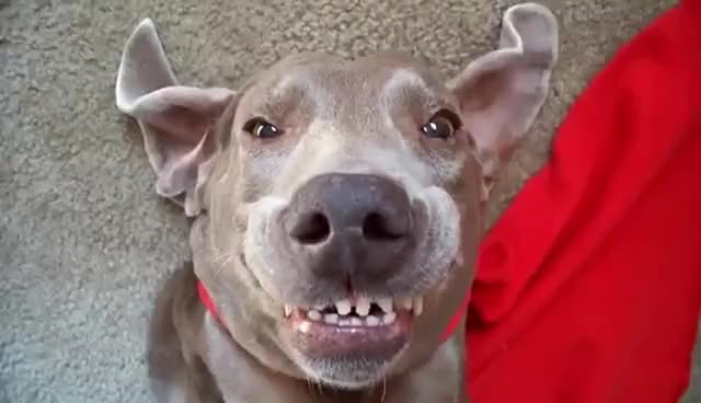 Watch and share Cute Dog Smiling GIFs on Gfycat