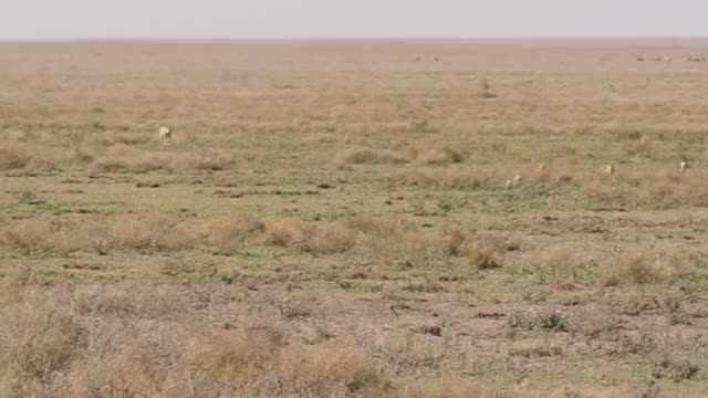 Watch and share Cheetah Chasing A Thomson's Gazelle GIFs by Pardusco on Gfycat