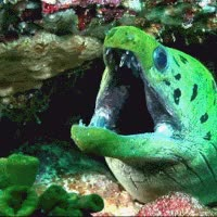 Watch and share Moray Eel GIFs on Gfycat