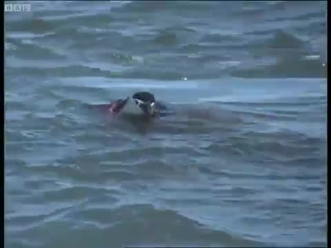 A wounded Chinstrap Penguin succumbs to its injuries GIFs