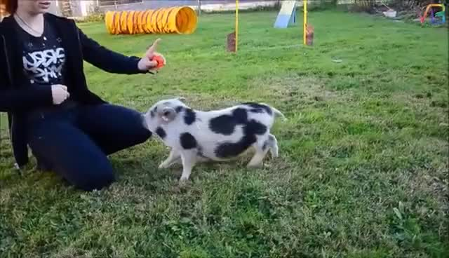 Watch Best Trained & Disciplined Pigs GIF on Gfycat. Discover more related GIFs on Gfycat