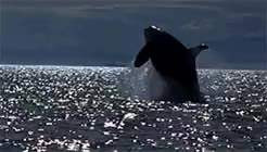 Watch and share Killer Whale GIFs and Free Willy GIFs on Gfycat