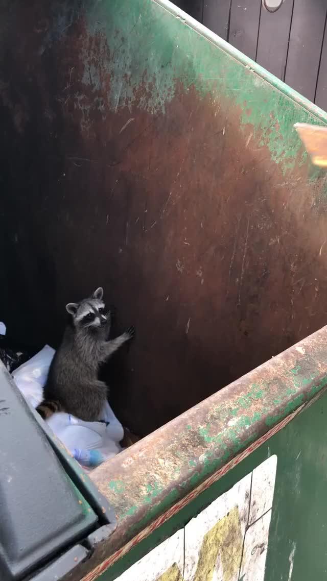 Watch and share Trash Panda GIFs and Raccoon GIFs on Gfycat