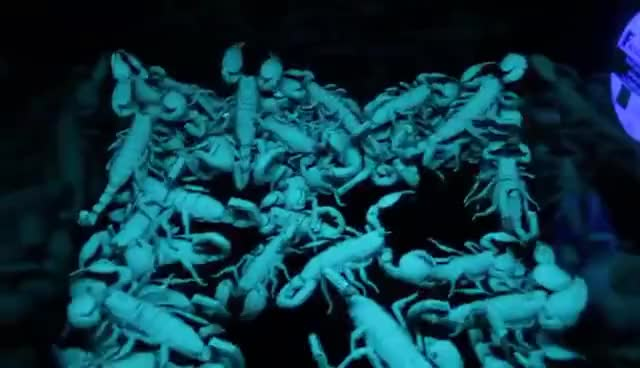 Watch Fifty Emperor Scorpions Under UV Light HD GIF on Gfycat. Discover more related GIFs on Gfycat