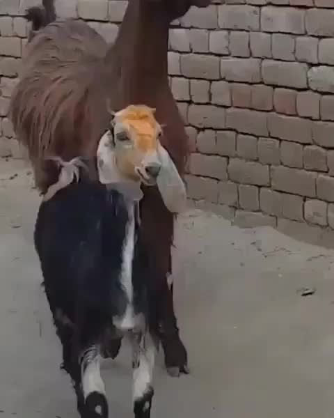 Watch and share Goats GIFs and Swag GIFs by MoveToPluto on Gfycat