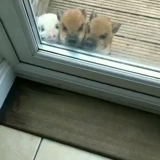 Watch and share Animal Funny Pig GIFs and Cute Little Pigs GIFs by Mr.Ghost on Gfycat