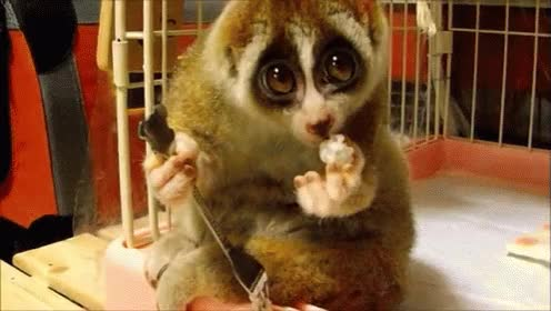Watch and share Happy Slow Loris GIFs on Gfycat