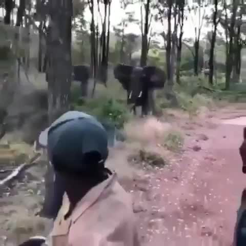 Bull elephant chases after a safari truck GIFs