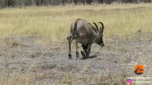 Watch and share Roan Antelope That Got Its Legs Broken By Lions GIFs by Pardusco on Gfycat