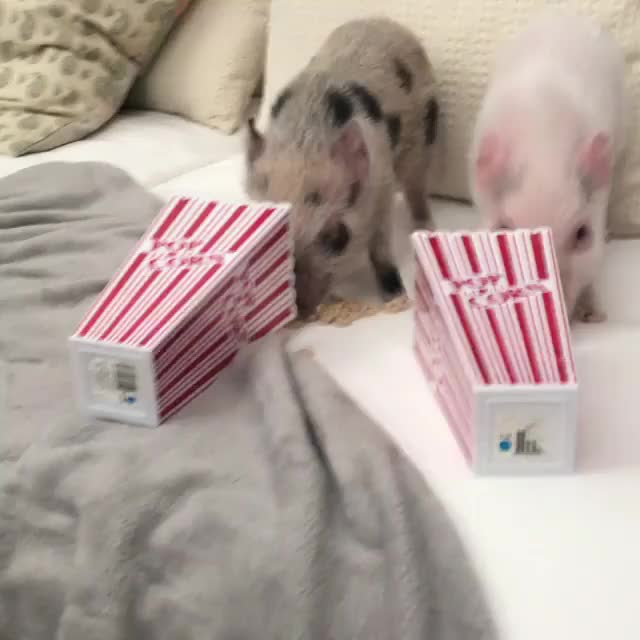Watch and share /r/BABY_ANIMAL_GIFS - Clementine_appleton_minipigs GIFs by cakejerry on Gfycat