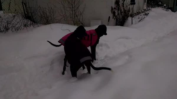 greyhounds, Our hounds normally don't play much outside. This is what happens in snow (reddit) GIFs