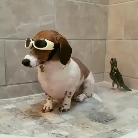 Watch and share Dachshund Addicts GIFs by notmyproblem on Gfycat