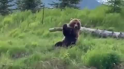 When bored, wild grizzlies have been known to entertain themselves by tossing around logs and sticks GIFs