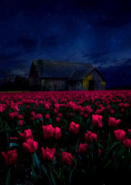 Watch this nature GIF by Ineta Zebele (@inetik) on Gfycat. Discover more nature, sky, stars, tulips GIFs on Gfycat