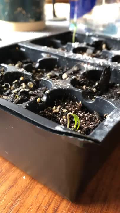 Watch and share Pepper Sprout Time Lapse GIFs on Gfycat
