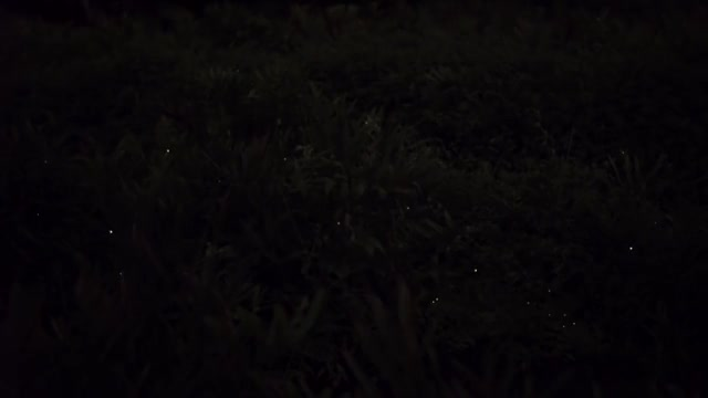 Watch Synchronizing Fireflies GIF on Gfycat. Discover more artificial intelligence, emergence, fireflies, firefly, self-oganization, sync, synchronicity, thailand GIFs on Gfycat