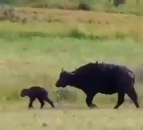 animals, lion, lions, Two lions distract and take down a mother water buffalo while a third takes out the baby GIFs