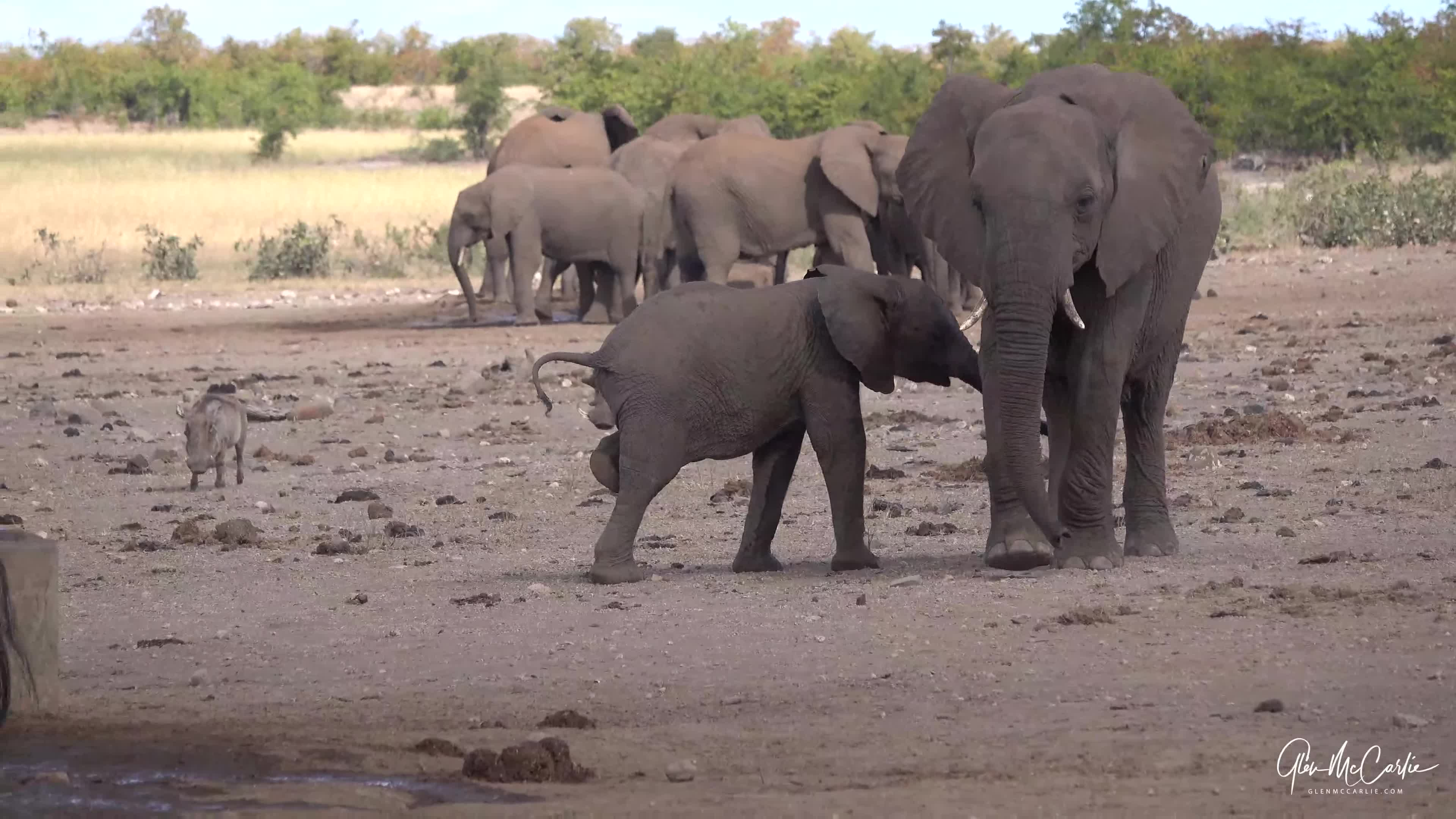 Elephants at waterhole GIFs