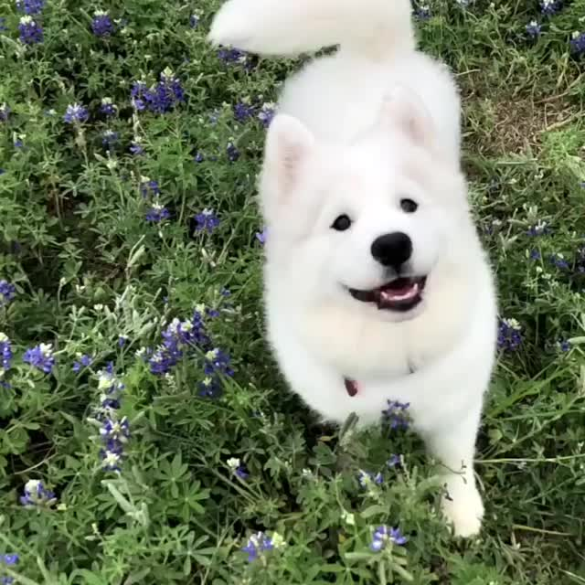 aloofandfloof, austin, bluebonnets, dog, dogs, samoyed, zilkerbark, Burfi vs Bluebonnets GIFs