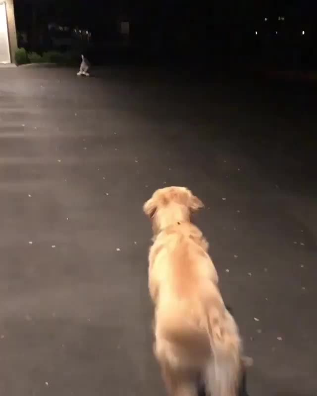 dog, Golden boy discovers a new toy (reddit) GIFs