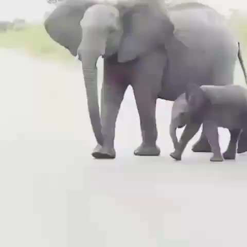 Watch 🐘🐘 All Dressed for the celebration of our 65k followers... The Elephants know you love them and they love you right back 💝🐘😍💖 - - Tag  GIF by PM_ME_STEAM_K3YS (@pmmesteamk3ys) on Gfycat. Discover more amazing, animallover, animalphotos, animals, babyelephants, bbcearth, discoverearth, discovery, earthpix, elephant, elephantlove, elephantparade, elephants, landscapelover, loveelephants, mothernature, naturelover, safari, wildlife, wildlifeonearth GIFs on Gfycat