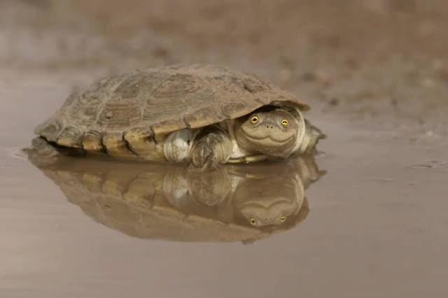 Watch and share PsBattle: Shell Shocked Turtle : Photoshopbattles GIFs on Gfycat
