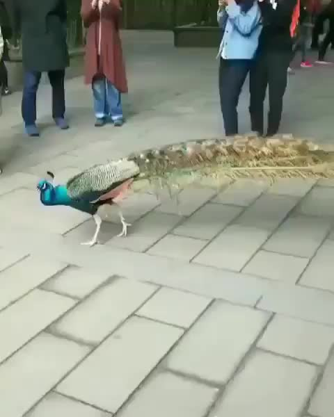 Watch and share Peacock GIFs by gretta on Gfycat